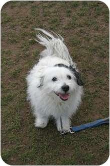 Havanese/Cavalier King Charles Spaniel Mix Dog for adoption in Islip, New York - Othello