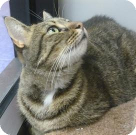 Domestic Shorthair Cat for adoption in Gainesville, Florida - Trinity