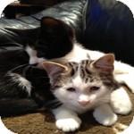Domestic Shorthair Kitten for adoption in Ottawa, Ontario - Siri