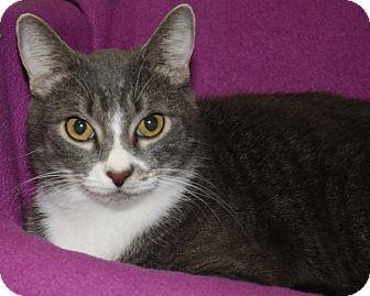 Domestic Shorthair Cat for adoption in Rochester, New York - Jetta