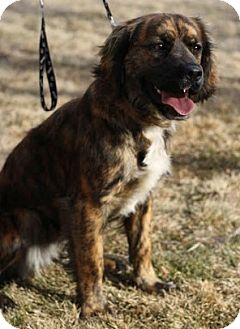 Cocker Spaniel/Boxer Mix Puppy for adoption in Broomfield, Colorado - Snicker