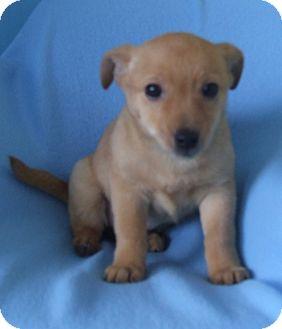 Chihuahua Mix Puppy for adoption in Kalamazoo, Michigan - Wes