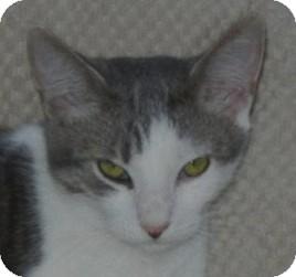 Domestic Shorthair Kitten for adoption in Winchester, California - Lowell