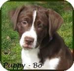 Boxer/Labrador Retriever Mix Puppy for adoption in Marlborough, Massachusetts - Bo