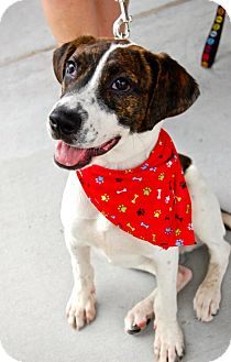 Boxer/Hound (Unknown Type) Mix Puppy for adoption in Baton Rouge, Louisiana - Brewsky
