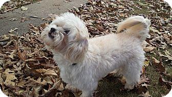 Poodle (Miniature)/Bichon Frise Mix Dog for adoption in Bedford, Virginia - Tobe