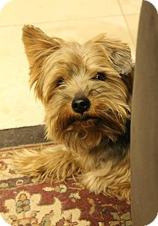 Yorkie, Yorkshire Terrier Mix Dog for adoption in Plano, Texas - NELSON - YORKIE SWEETIE!!!