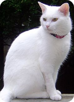 Domestic Shorthair Cat for adoption in Alexandria, Virginia - Mish