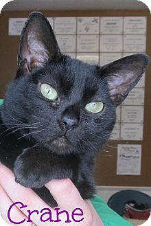 Domestic Shorthair Cat for adoption in Menomonie, Wisconsin - Crane