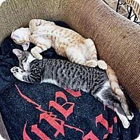 Adopt A Pet :: Macklemore - Dallas, TX