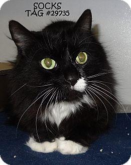 Domestic Mediumhair Cat for adoption in Lapeer, Michigan - SOCKS--HANDSOME & FRIENDLY!
