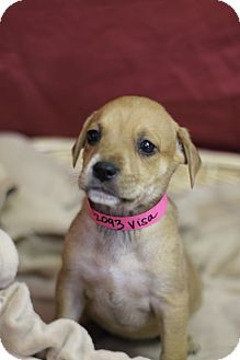 Boxer Mix Puppy for adoption in Waldorf, Maryland - Visa