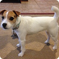 Adopt A Pet :: Shimmy In Houston - Houston, TX