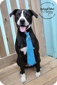 Pit Bull Terrier/Boxer Mix Dog for adoption in Kansas City, Missouri - Baxter