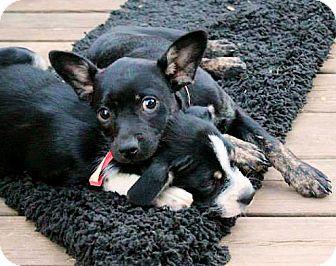Boston Terrier Mix Puppy for adoption in Naugatuck, Connecticut - Harper