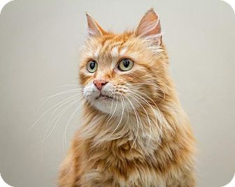 Domestic Mediumhair Cat for adoption in Bellingham, Washington - Chancellor Meow