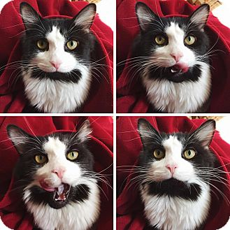 Domestic Longhair Cat for adoption in Wilmington, Delaware - Charmin