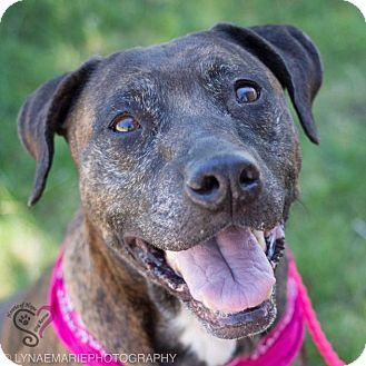 Boxer/Pit Bull Terrier Mix Dog for adoption in Grand Rapids, Michigan - Georgia
