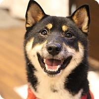 Adopt A Pet :: Hanabi - Manassas, VA
