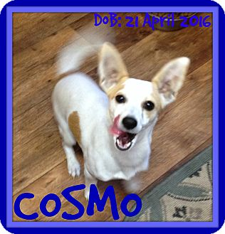 Jack Russell Terrier/Chihuahua Mix Dog for adoption in Jersey City, New Jersey - COSMO