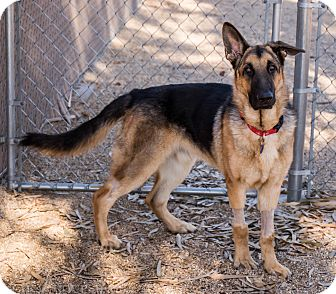 German Shepherd Dog Mix Dog for adoption in Phoenix, Arizona - Max Jr