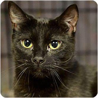 Domestic Shorthair Cat for adoption in Milford, Massachusetts - Maxine
