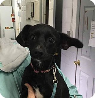 Chihuahua Mix Puppy for adoption in Valley Stream, New York - Reginald