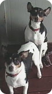 Rat Terrier Mix Dog for adoption in Antioch, California - Daisey
