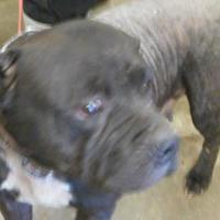 American Pit Bull Terrier Mix Dog for adoption in Opelousas, Louisiana - charlotte
