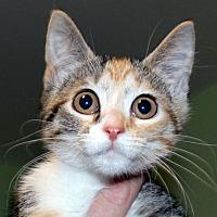 Adopt A Pet :: Callie - Calverton, NY