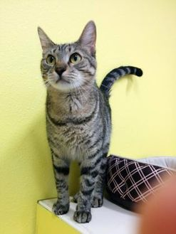Domestic Shorthair/Domestic Shorthair Mix Cat for adoption in Monticello, Iowa - Spout