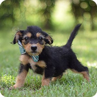 Terrier (Unknown Type, Small) Mix Puppy for adoption in Denver, Colorado - Reynard