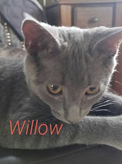 Domestic Shorthair Cat for adoption in Painted Post, New York - Willow