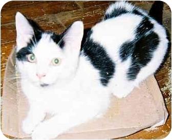 Domestic Shorthair Cat for adoption in cincinnati, Ohio - Jocomo