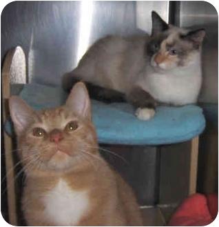 Domestic Shorthair Cat for adoption in Overland Park, Kansas - Jonesy & Lacey