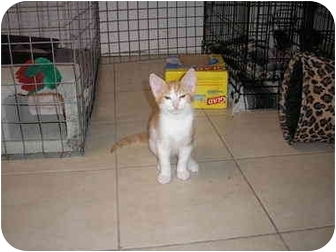 Domestic Shorthair Kitten for adoption in Tampa, Florida - Creamcicle