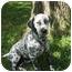 Photo 1 - Dalmatian Dog for adoption in League City, Texas - Jet