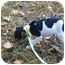 Photo 2 - Jack Russell Terrier Puppy for adoption in Spring Valley, New York - Vincent
