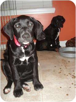 Great Dane Mix Puppy for adoption in Callahan, Florida - Brooklyn