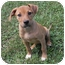 Photo 3 - Hound (Unknown Type) Mix Puppy for adoption in Windham, New Hampshire - Amstel