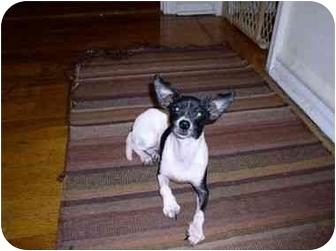 Rat Terrier/Chihuahua Mix Dog for adoption in Long Beach, New York - Olive