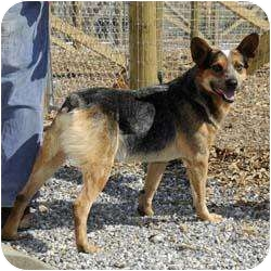 Australian Cattle Dog Dog for adoption in Blairsville, Georgia - Country