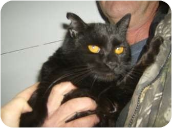 Domestic Shorthair Cat for adoption in Palestine, Illinois - Percy
