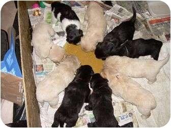 Golden Retriever Mix Puppy for adoption in Denver, Colorado - Zircon (Blond)