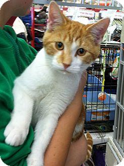Domestic Shorthair Kitten for adoption in Riverhead, New York - Steve