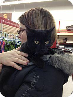 American Shorthair Cat for adoption in Ogden, Utah - Raven