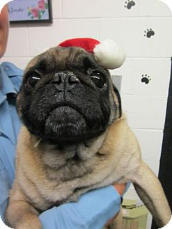 Pug Dog for adoption in Southbury, Connecticut - Louie