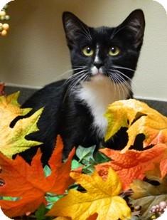 Domestic Shorthair Cat for adoption in Columbus, Nebraska - Gracey