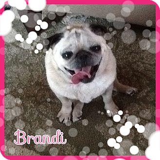 Pug Dog for adoption in Greensboro, Maryland - Brandi (& Bandit)