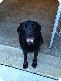 Labrador Retriever Mix Dog for adoption in Lewisville, Indiana - Joe